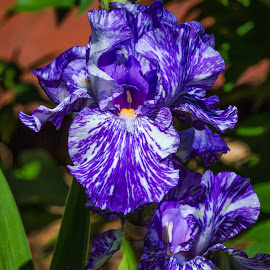 Iris by Dave Lipchen - Flowers Single Flower ( iris )