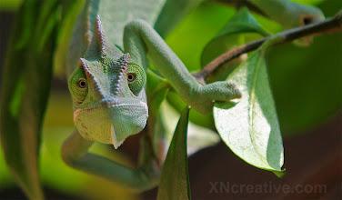 Photo: Chameleon