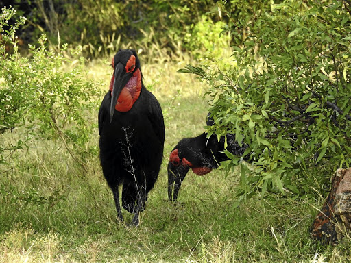 In need of a hand: Southern ground hornbills are under threat from loss of habitat and consumption of poisons. Picture: LESLEY STONES