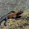 flat headed agama or spiderman lizard