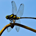Indian Common Clubtail