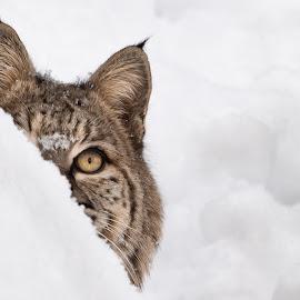 Bobcat by Ron Conigliaro - Animals Lions, Tigers & Big Cats ( hiding, bobcat, snow, cat, animal, winter, wildlife,  )