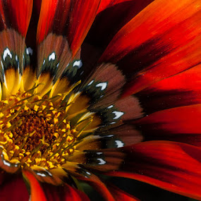 Gazania by Joggie van Staden - Flowers Single Flower ( plant, gazania, nature, petals, flower )
