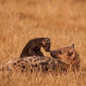 Hyena mum & pup by Ken Dyball - Animals Other ( kenya hyena masai mara baby loving )