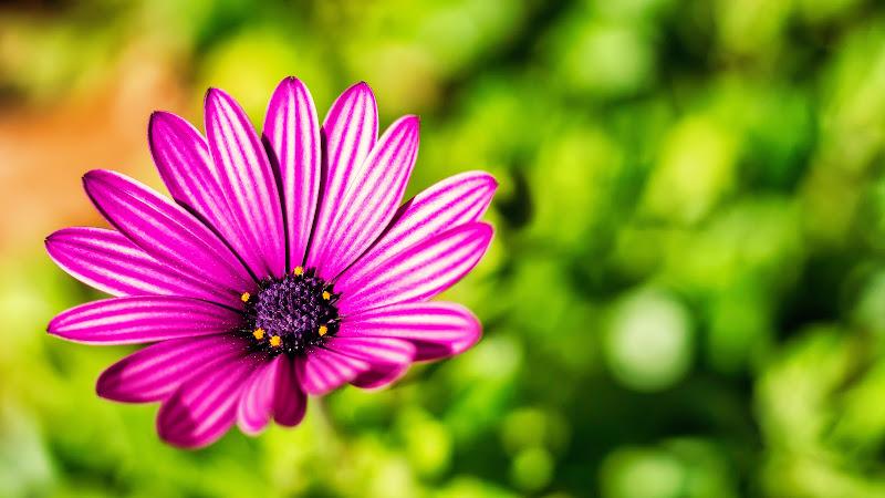 Fiore di Campo  di diego_silvani