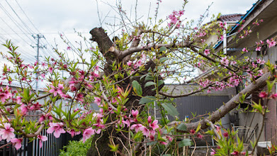 Photo: A touch of spring in the yard of a small residence in Ōizumi, Ōra District, Gunma Prefecture. Read more about Oizumi: http://japanvisitor.blogspot.jp/2015/04/oizumibrazil-in-japan.html