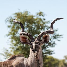 Kudu Bull by Ada Louw - Animals Other