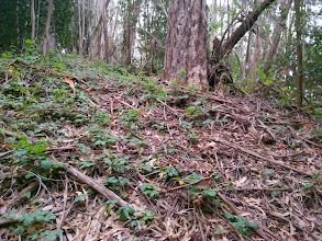 Photo: poison oak thrives in the eucalyptus duff. The vines are intertwined with bark, leaves, and limbs that drop to the floor in prodigious quantities.