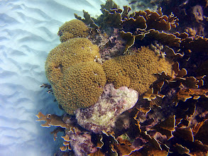 Photo: A FEW HIGHLIGHTS: Pencil Coral (Madracis sp.- and Square Stinging Coral (Millepora squarrosa) in the Seaward Slope Zone
