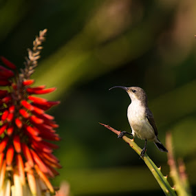 by Dawie Nolte - Animals Birds ( aloe, red, sunbird, white bellied sunbird, rocket aloe )