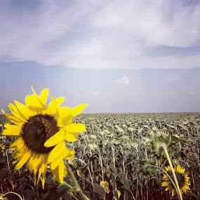 Field of sunflowers by Nat Bolfan-Stosic - Uncategorized All Uncategorized ( flowers, wildflower, field, sunflower, summer )