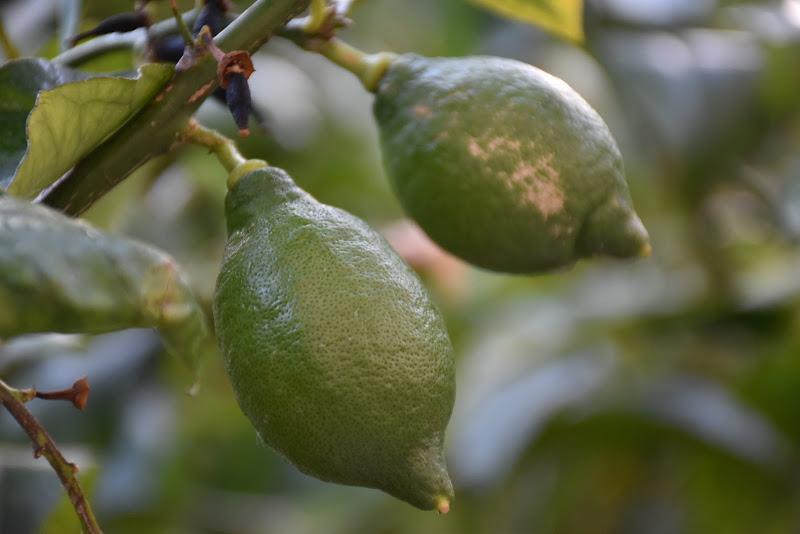 Gion Lemon di fuche