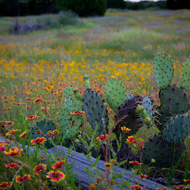 Cactus by Richard States - Landscapes Prairies, Meadows & Fields ( meadow, flowers, landscape, cactus,  )
