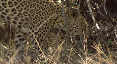 Leoparder i Okavango-deltaet