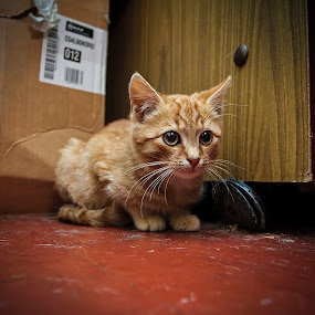 Waiting by Dmitriev Dmitry - Animals - Cats Kittens ( kitten, cat, pet, kitty, animal )