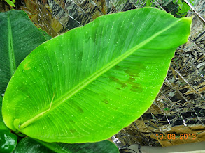 "Photo: Moisturize me... This leaf is 17.5 "" long by 9.25 wide"