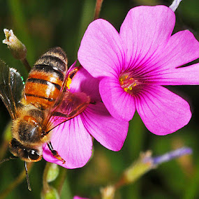 violet wood sorrel with bee for comparison by David Winchester - Nature Up Close Flowers - 2011-2013 (  )