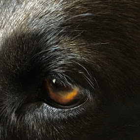 Window to the soul by Suzanne Black - Animals - Dogs Portraits (  )