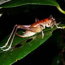 Cricket by Sarah Harding - Novices Only Wildlife ( nature, outdoors, novices only, wildlife, insect,  )