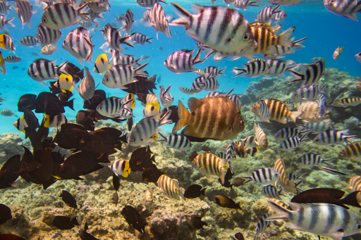 Snorkel and scuba dive to see tropical fish up close as part of your Ponant cruise experience.