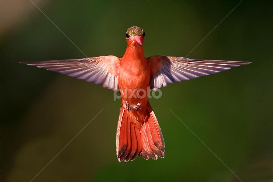 by Herb Houghton - Animals Birds ( cinnamon hummingbird, hummingbird, hummer, animal, motion, animals in motion, pwc76 )