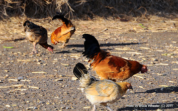 Photo: Drag racing is NOT for chickens, even if they live at the dragstrip!