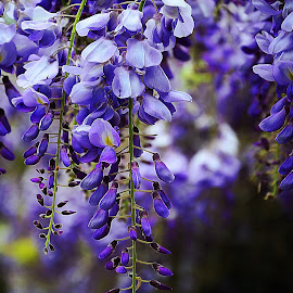 Wisteria by Steve Wilking - Flowers Flowers in the Wild
