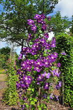 Photo: Clematis 'Star of India' habitus