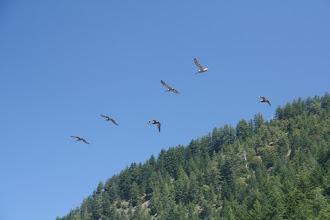Photo: pelicans flying