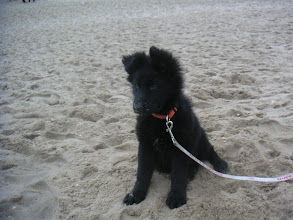 Photo: Angel 11 wk, strand en 1 oor staat. Nov. 04