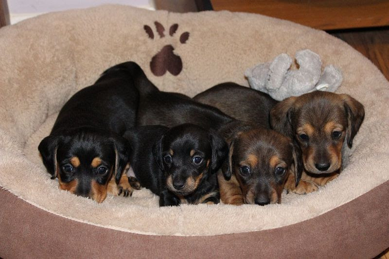 Dachshund puppies price range. How much does a Dachshund Puppy Cost?