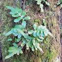 Leather-leaf fern
