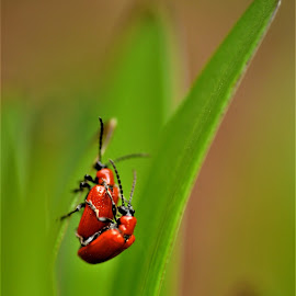 Scarlet lily beetle by Tomasz Budziak - Animals Insects & Spiders ( animals, insects )