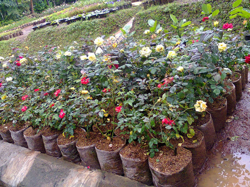 Jual Tanaman Hias Bunga   Jasa Pembuatan Taman dan Kolam ...