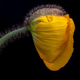 Unfolding  by Mark Ritter - Flowers Single Flower ( floral, flowers, poppy, yellow, garden, flower )
