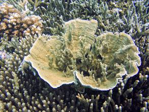 Photo: Montipora capricornis (Vase Coral), Naigani Island, Fiji
