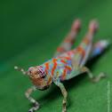 Aquatic grasshopper