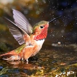 HummerFun 527~ by Raphael RaCcoon - Animals Birds