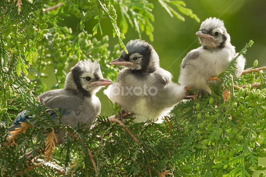 Blue Jay Chicks by Herb Houghton - Animals Birds ( wild, non captiv, passerine, herbhoughton.com, backyard, blue jay, songbird )