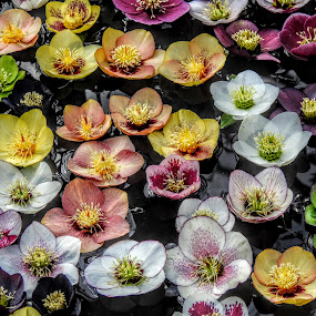 Colourful Hellebore Flowers In Water by Ian Popple - Flowers Flower Arangements ( water, hellebore flowers, colourful,  )