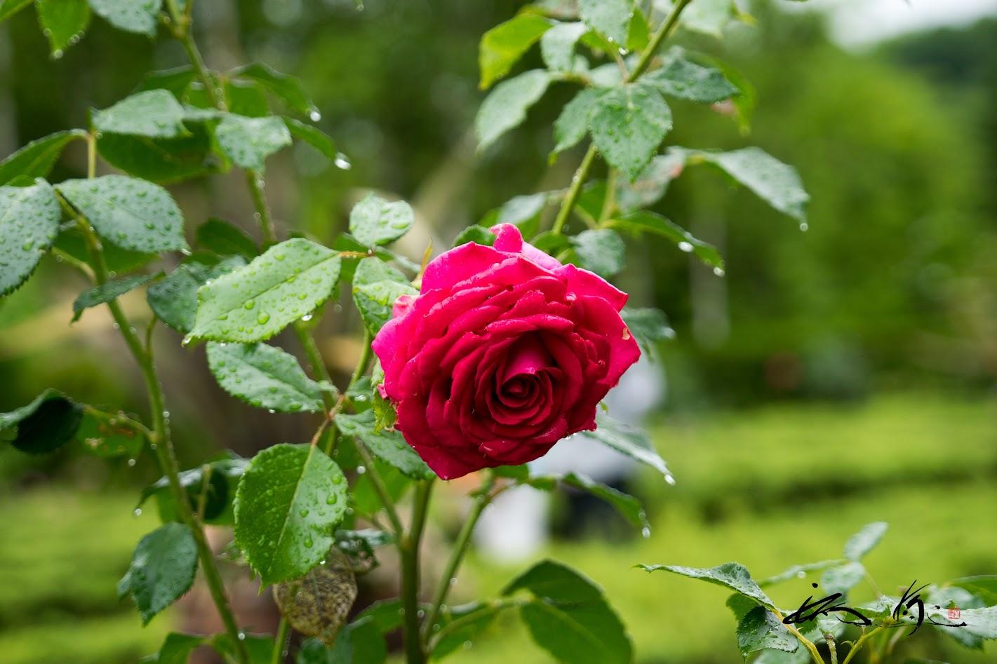 雨のしずくが滴る素敵な薔薇!