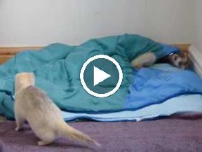 Video: Tigger's arrival - Skippy, Squirt and Tigger