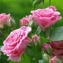 beautiful roses wallpapers icon