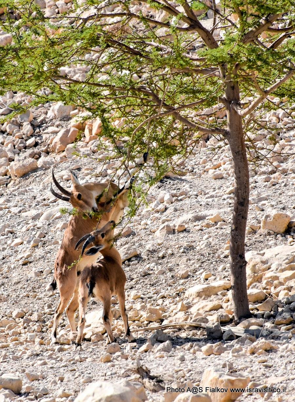 Нубийские горные козлы в Заповеднике Эйн-Геди. Экскурсия в Израиле. Эйн-Геди - Мертвое море.