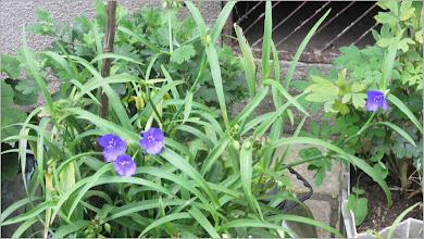 Photo: Telegraf de grădină (Tradescantia virginiana) - din Turda, de pe Str. George Cosbuc - 2018.07.19