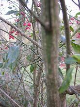 Photo: Liserés de liège sur les branches du fusain