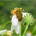 Glycyphana nicobarica 雙斑短突花金龜