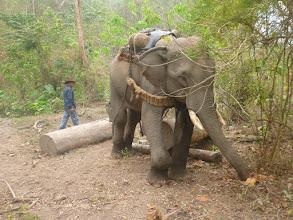 Photo: Slon má za úkol odtahat do vesnice tyto klády dřeva.