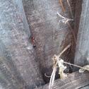 Florida Carpenter Ant