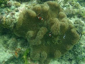Photo: Stichodactyla mertensii (Mertens Carpet Anemone), Amphiprion ocellaris (Ocellaris Clownfish), Siquijor Island, Philippines